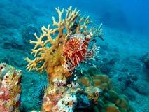 trang Вьетнам scorpionfish nha Стоковое фото RF