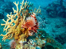 trang Вьетнам scorpionfish nha Стоковая Фотография