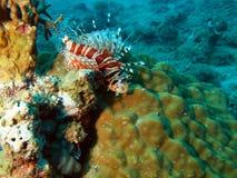 trang Вьетнам scorpionfish nha Стоковые Фото