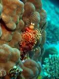 trang Вьетнам scorpionfish nha Стоковое Фото
