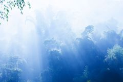 A tranquil bamboo forest in blue misty. Soft sunrise shines on branches of bamboo trees, sunlight burning off the dew on bamboo leaves royalty free stock photography
