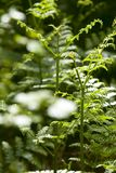 Tranquil Forest. Sunlight bathed ferns in a tranquil forest Royalty Free Stock Photos