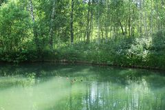 Tranquil forest pond framed by lush green woodland park in sunshine. Green water in a pond with ducks and trees around. Tranquil forest pond framed by lush green stock image