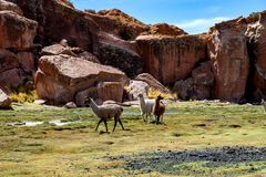 Serene green landscape with alpacas and llamas, geological rock formations on Altiplano, Andes of Bolivia, South America. Tranquil green landscape with alpacas stock images