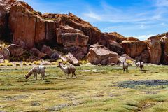 Serene green landscape with alpacas and llamas, geological rock formations on Altiplano, Andes of Bolivia, South America. Tranquil green landscape with alpacas royalty free stock photos