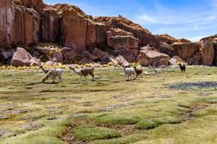 Serene green landscape with alpacas and llamas, geological rock formations on Altiplano, Andes of Bolivia, South America. Tranquil green landscape with alpacas royalty free stock image