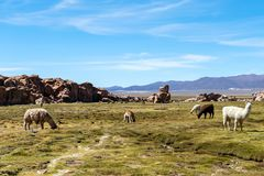 Serene green landscape with alpacas and llamas, geological rock formations on Altiplano, Andes of Bolivia, South America. Tranquil green landscape with alpacas stock photos