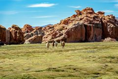 Serene green landscape with alpacas and llamas, geological rock formations on Altiplano, Andes of Bolivia, South America. Tranquil green landscape with alpacas royalty free stock photo