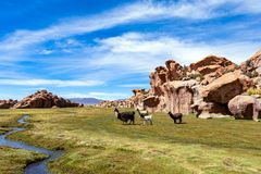 Serene green landscape with alpacas and llamas, geological rock formations on Altiplano, Andes of Bolivia, South America. Tranquil green landscape with alpacas stock photography