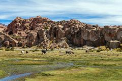 Serene green landscape with alpacas and llamas, geological rock formations on Altiplano, Andes of Bolivia, South America. Tranquil green landscape with alpacas royalty free stock images
