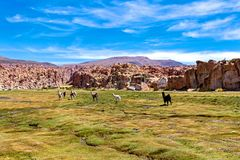 Serene green landscape with alpacas and llamas, geological rock formations on Altiplano, Andes of Bolivia, South America. Tranquil green landscape with alpacas royalty free stock photography