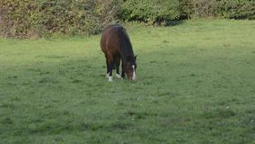 Tranquil horses grazing in an English field stock video