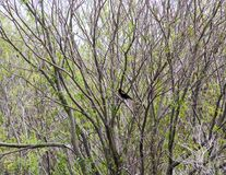 Red Winged Blackbird Sitting in a Tree. Tranquil image of a Red Winged Black Bird Sitting in a Tree Stock Images