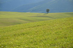 Tranquil life in a farm. Lonely tree on green meadow Stock Images