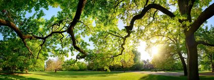Tranquil panoramic scenery in a beautiful park. With a meadow and the sun shining through the green branches of a large oak tree royalty free stock images