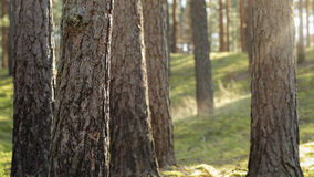 Tranquil pine forest lanscape Stock Photo