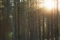 Tranquil pine forest lanscape Stock Photography