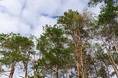 Tranquil pine forest view on blue sky backgrounds Stock Photos