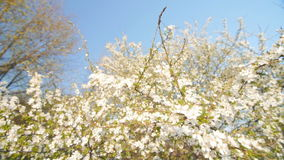 Tranquil scene  blossom plum tree by spring. stock video