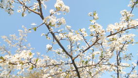 Tranquil scene  blossom plum tree by spring. Tranquil scene, flowering plum branches, spring. Slow camera movement,through the flowering plum branches, slow stock video footage