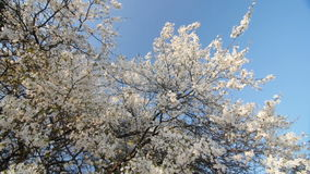 Tranquil scene  blossom plum tree by spring. stock footage