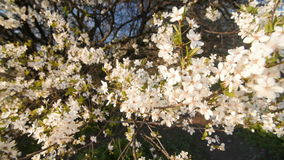 Tranquil scene  blossom plum tree by spring. Slow camera movement. White flowers. The camera moves through the flowering plum branches, slow motion stock video footage