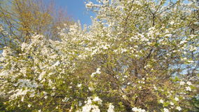 Tranquil scene  blossom plum tree by spring. Slow motion. Tranquil scene, flowering plum tree. Slow camera movement, the lower viewing point. White flowers stock footage