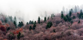 A tranquil scene with fir trees and mist.  royalty free stock images