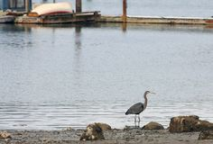 Tranquil Scene with Heron along Shore Stock Photos