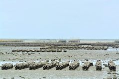 Oyster Farming at Low Sea Level Royalty Free Stock Photography