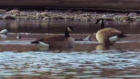 Canada Geese Feed on the Arkansas River stock video