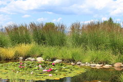 Tranquil water grass and blooming flowers landscape. Tranquil pond surrounded with tall grass. Floating leaves in water with pink and red flower blooms. Calm and Stock Photography