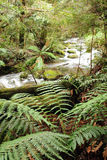 Tranquility. ~ lush tree ferns on the banks of a soft-flowing river.  Victoria, Australia Royalty Free Stock Photography