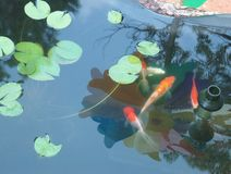 Tranquility. Tranquil image of a small koi pond with lily pads. A white koi, An orange and white Koi, a red and white oranda, a comet, and a fancy tail goldfish Royalty Free Stock Photos