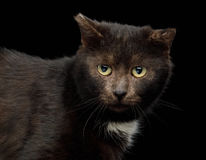 Tranquility brown cat on black background Stock Photos