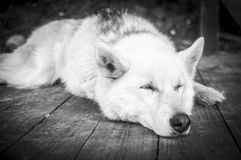 Tranquility And Insurance. A portrait of a sleeping husky. Black and white photography Royalty Free Stock Images