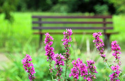 Tranquility, purple loosestrife in front of a park bench Royalty Free Stock Image