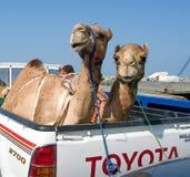 Trans. av kamel med bilen i Oman Royaltyfri Foto
