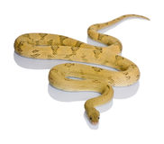 Trans-Pecos rat snake, slithering Royalty Free Stock Photography