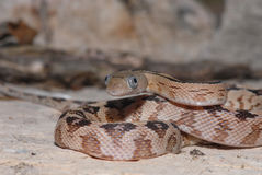 Trans Pecos Ratsnake Royalty Free Stock Images