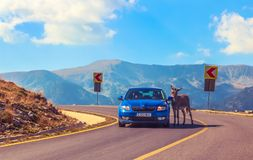 Donkey stops car for toll Royalty Free Stock Photos