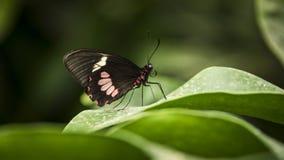 Transandean cattleheart swallowtail vlinder stock fotografie