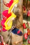Transandina Cattle Heart Butterfly stock images