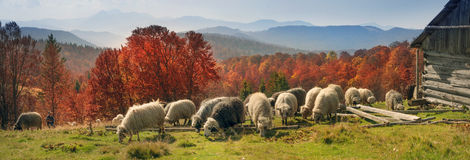 Transcarpathian pastures in autumn Stock Image