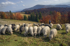 Transcarpathian pastures in autumn Stock Images