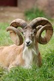 Transcaspian urial Stock Photos