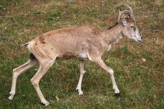 Transcaspian urial (Ovis orientalis arkal). Stock Images