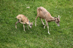 Transcaspian urial (Ovis orientalis arkal). Royalty Free Stock Images