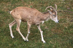 Transcaspian urial (Ovis orientalis arkal). Stock Photography