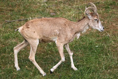 Transcaspian urial (Ovis orientalis arkal). Royalty Free Stock Photos